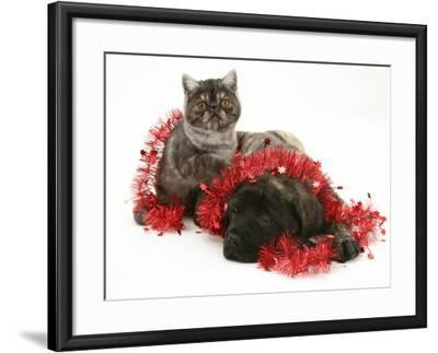 Smoke Exotic Kitten with Brindle English Mastiff Puppy Wrapped with Christmas Tinsel-Jane Burton-Framed Photographic Print