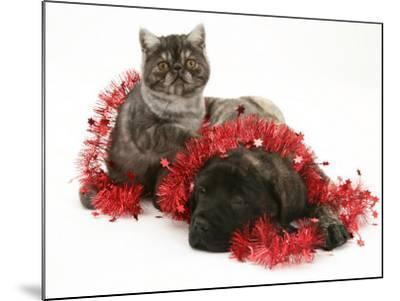 Smoke Exotic Kitten with Brindle English Mastiff Puppy Wrapped with Christmas Tinsel-Jane Burton-Mounted Photographic Print