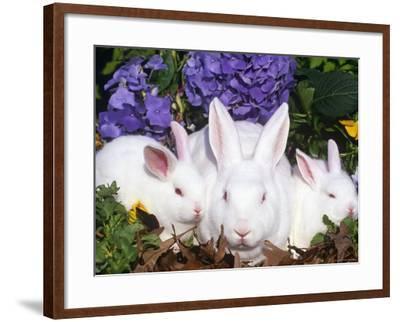 Domestic New Zealand Rabbits, Amongst Hydrangeas, USA-Lynn M^ Stone-Framed Photographic Print