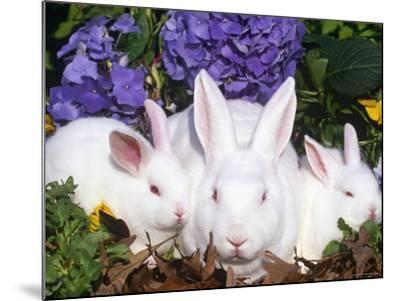 Domestic New Zealand Rabbits, Amongst Hydrangeas, USA-Lynn M^ Stone-Mounted Photographic Print