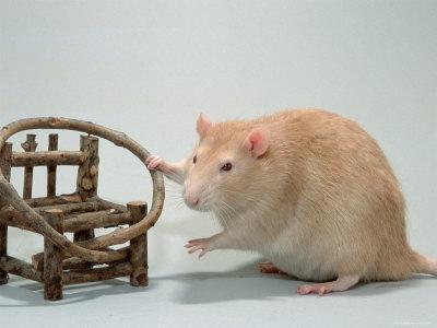 Red Domestic Rat-De Meester-Framed Photographic Print