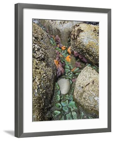Giant Green Anemones, and Ochre Sea Stars, Exposed on Rocks, Olympic National Park, Washington, USA-Georgette Douwma-Framed Photographic Print