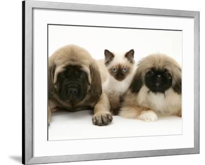 Pekingese and English Mastiff Puppies with Birman-Cross Kitten-Jane Burton-Framed Photographic Print