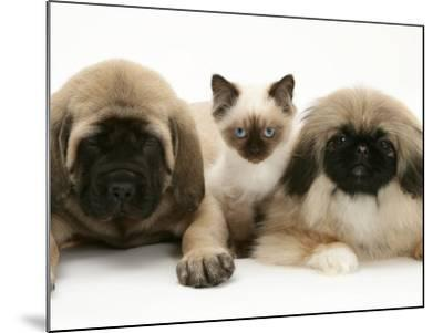 Pekingese and English Mastiff Puppies with Birman-Cross Kitten-Jane Burton-Mounted Photographic Print