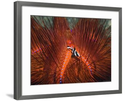 Emperor Snapper, Juvenile Sheltering, False Fire Urchin, Lembeh Strait, North Sulawesi, Indonesia-Georgette Douwma-Framed Photographic Print