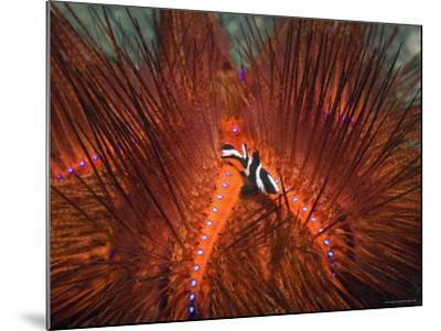Emperor Snapper, Juvenile Sheltering, False Fire Urchin, Lembeh Strait, North Sulawesi, Indonesia-Georgette Douwma-Mounted Photographic Print