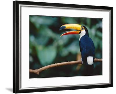 Toco Toucan in Tree, Igazu National Park, Brazil, Iguassu-Staffan Widstrand-Framed Photographic Print