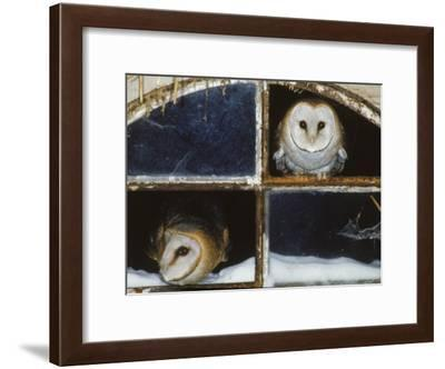 Barn Owls Looking out of a Barn Window Germany-Dietmar Nill-Framed Photographic Print