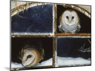 Barn Owls Looking out of a Barn Window Germany-Dietmar Nill-Mounted Photographic Print