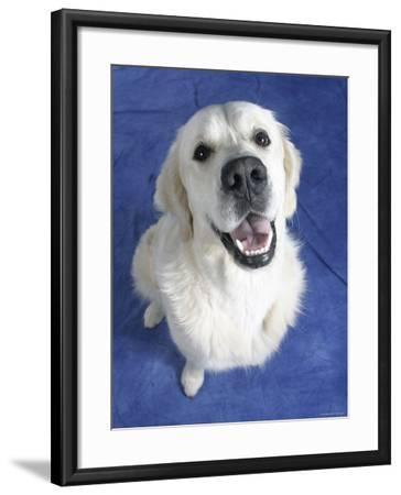 Looking Down on Golden Retriever Dog-Petra Wegner-Framed Photographic Print