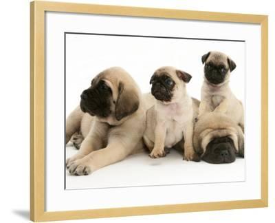 Fawn Pug Pups with Fawn English Mastiff Puppies-Jane Burton-Framed Photographic Print