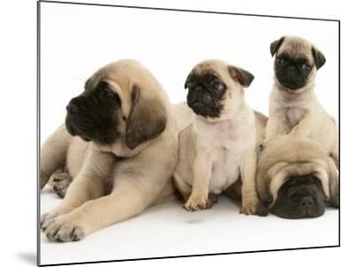 Fawn Pug Pups with Fawn English Mastiff Puppies-Jane Burton-Mounted Photographic Print
