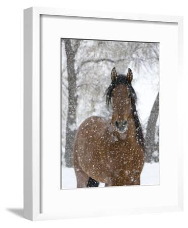 Bay Andalusian Stallion Portrait with Falling Snow, Longmont, Colorado, USA-Carol Walker-Framed Photographic Print
