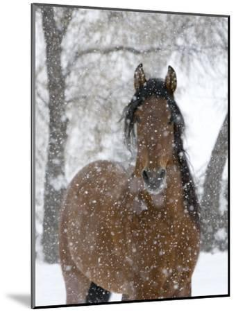 Bay Andalusian Stallion Portrait with Falling Snow, Longmont, Colorado, USA-Carol Walker-Mounted Photographic Print