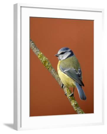 Blue Tit on Branch, Cornwall, UK-Ross Hoddinott-Framed Photographic Print