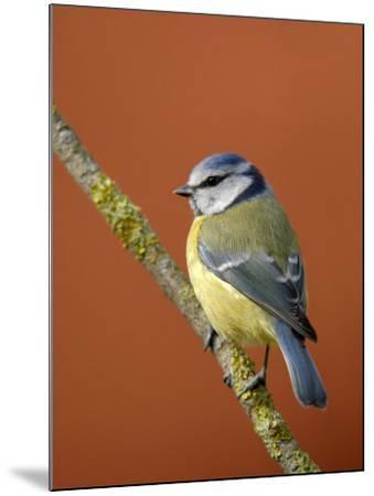 Blue Tit on Branch, Cornwall, UK-Ross Hoddinott-Mounted Photographic Print