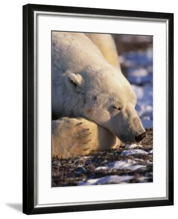 Polar Bear Resting, Churchill, Manitoba, Canada-Eric Baccega-Framed Photographic Print