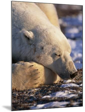 Polar Bear Resting, Churchill, Manitoba, Canada-Eric Baccega-Mounted Photographic Print
