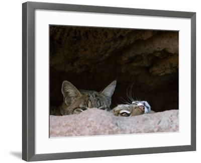 Two American Bobcats Peering over Rock in Cave. Arizona, USA-Philippe Clement-Framed Photographic Print