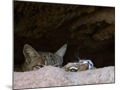 Two American Bobcats Peering over Rock in Cave. Arizona, USA-Philippe Clement-Mounted Photographic Print