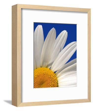 Marguerite Oxeye Daisy, Devon, UK-Ross Hoddinott-Framed Photographic Print