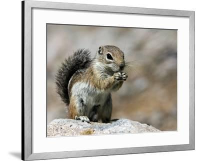 Harris Antelope Squirrel Feeding on Seed. Organ Pipe Cactus National Monument, Arizona, USA-Philippe Clement-Framed Photographic Print