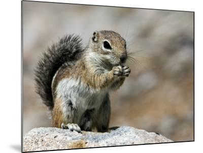 Harris Antelope Squirrel Feeding on Seed. Organ Pipe Cactus National Monument, Arizona, USA-Philippe Clement-Mounted Photographic Print