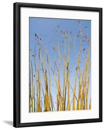 Ocotillo in Flower. Organ Pipe Cactus National Monument, Arizona, USA-Philippe Clement-Framed Photographic Print