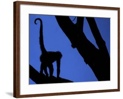 Silhouette of Black-Handed Spider Monkey Standing in Tree, Costa Rica-Edwin Giesbers-Framed Photographic Print