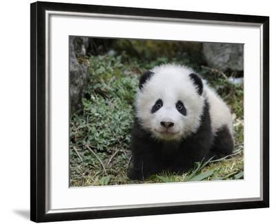 Giant Panda Baby Aged 5 Months, Wolong Nature Reserve, China-Eric Baccega-Framed Photographic Print