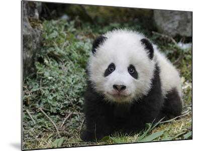 Giant Panda Baby Aged 5 Months, Wolong Nature Reserve, China-Eric Baccega-Mounted Photographic Print
