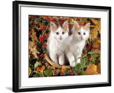 Domestic Cat, 9-Week, White-And-Tortoiseshell Sisters and in a Basket with Hazelnuts-Jane Burton-Framed Photographic Print