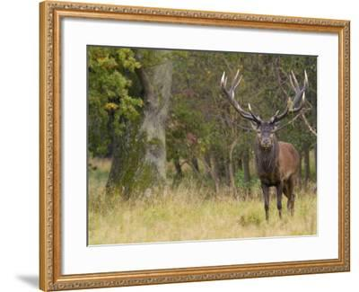 Red Deer Stag with Vegetation on Antlers During Rut, Dyrehaven, Denmark-Edwin Giesbers-Framed Photographic Print