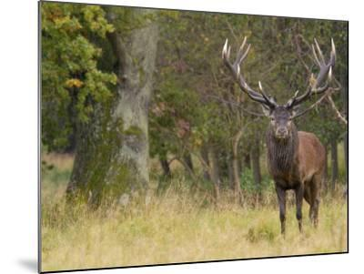 Red Deer Stag with Vegetation on Antlers During Rut, Dyrehaven, Denmark-Edwin Giesbers-Mounted Photographic Print