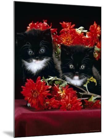 Domestic Cat, Persian-Cross Kittens with Chrysanthemums-Jane Burton-Mounted Photographic Print