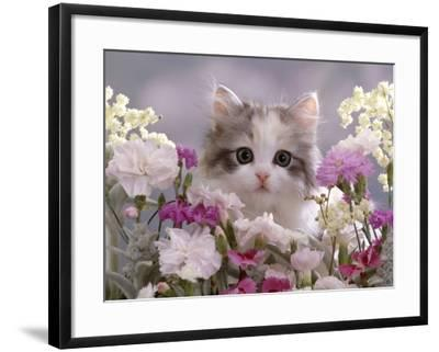 8-Week, Silver Tortoiseshell-And-White Kitten, Among Gillyflowers, Carnations and Meadowseed-Jane Burton-Framed Photographic Print