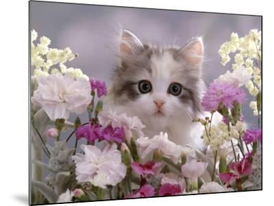 8-Week, Silver Tortoiseshell-And-White Kitten, Among Gillyflowers, Carnations and Meadowseed-Jane Burton-Mounted Photographic Print