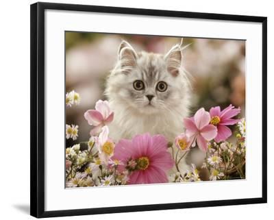 Domestic Cat, Silvertabby Kitten Among Michaelmas Dasies, Japanese Anemones and Cosmos Dasies-Jane Burton-Framed Photographic Print