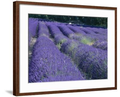 Field of Lavander Flowers Ready for Harvest, Sault, Provence, France, June 2004-Inaki Relanzon-Framed Photographic Print