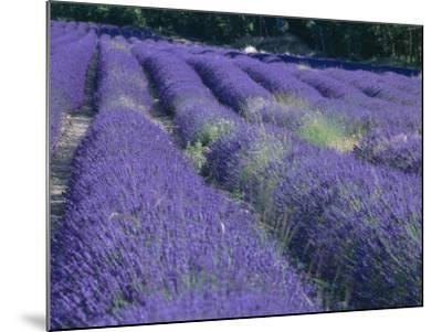 Field of Lavander Flowers Ready for Harvest, Sault, Provence, France, June 2004-Inaki Relanzon-Mounted Photographic Print