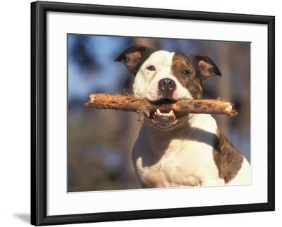Staffordshire Bull Terrier Carrying Stick in Its Mouth-Adriano Bacchella-Framed Photographic Print