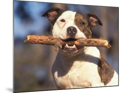 Staffordshire Bull Terrier Carrying Stick in Its Mouth-Adriano Bacchella-Mounted Photographic Print