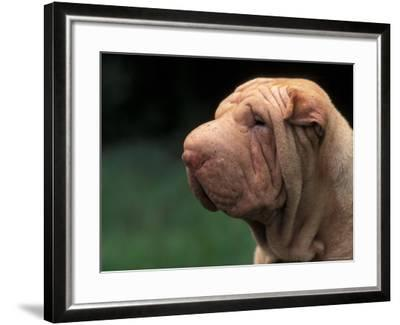 Shar Pei Face-Adriano Bacchella-Framed Photographic Print