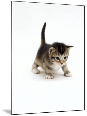 Domestic Cat, 3-Week Ticked-Tabby Kitten-Jane Burton-Mounted Photographic Print
