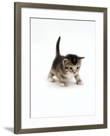 Domestic Cat, 3-Week Ticked-Tabby Kitten-Jane Burton-Framed Photographic Print