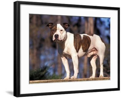 Staffordshire Bull Terrier Portrait-Adriano Bacchella-Framed Photographic Print