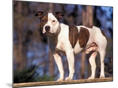 Staffordshire Bull Terrier Portrait-Adriano Bacchella-Mounted Photographic Print