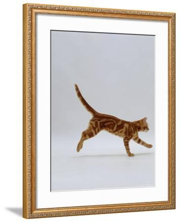 Domestic Cat, Red Tabby Kitten Running Profile-Jane Burton-Framed Photographic Print