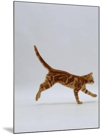 Domestic Cat, Red Tabby Kitten Running Profile-Jane Burton-Mounted Photographic Print