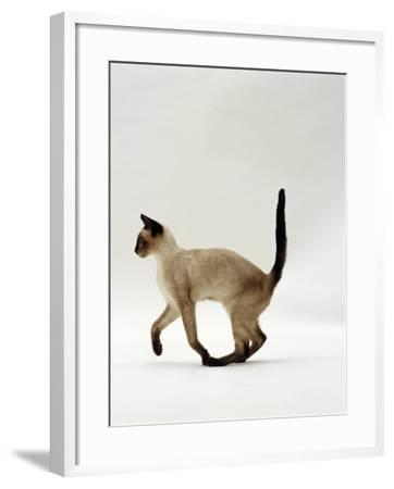 Domestic Cat, Seal Point Siamese Juvenile Running Profile-Jane Burton-Framed Photographic Print